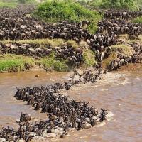 Как изменение климата влияет на миграцию животных