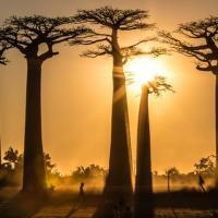 Даже Баобабы! Почему исчезают одни из самых крупных в мире деревьев