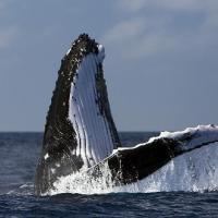 Россияне хотят защитить китов и дельфинов от правительства страны