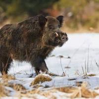 За три года численность дикого кабана в Беларуси уменьшилась в 48 раз