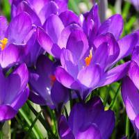 Весна приходит в Минск: зацвели крокусы, «Зеленстрой» готовится к посадке 8 млн цветов и свыше 1300 деревьев