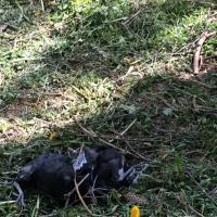 Коммунальные службы сбросили с деревьев гнёзда грачей с птенцами
