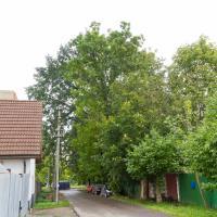 «Такие деревья охраняет ЮНЕСКО». Минчанка пытается уберечь от вырубки вековой дуб