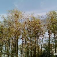Самая крупная на Полесье колония грачей может стать природной достопримечательностью Брестчины