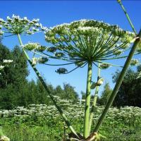 В Минске сократилась площадь произрастания инвазивных растений