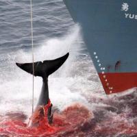 Японцы в «научных целях» убили 200 беременных самок китов