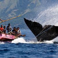 Япония возобновляет охоту на китов в «исследовательских целях»