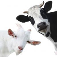 Пятничный тест: Отличите козу от коровы