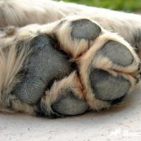 Лапка болит. Собаки тоже страдают от реагентов на дорогах