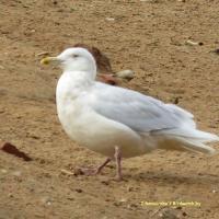 Фотофакт: новый для Беларуси вид птиц заметили на мусорном полигоне под Минском
