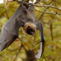«Разбуженный зверь погибает». Активисты придумали, как уберечь летучих мышей зимой