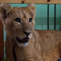 История спасения львёнка, которого бизнесмен сдавал в контактные зоопарки России