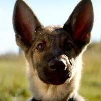 Премьеру «Собачьей жизни» отменили из-за жестокого обращения с собакой (Осторожно, видео!)