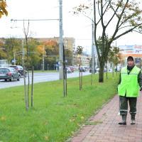 «Зеленстрой» предлагает перестать сажать деревья вдоль дорог. Городской Лесничий против