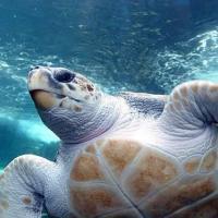 Дроны помогают ученым следить за миграцией морских черепах
