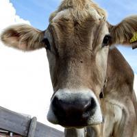 За 6% общего объёма СО2 ответственны коровы. О чём ещё говорят климатологи