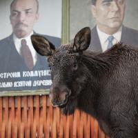 «Большая и добрая собака» — как лось Гриша поселился на ферме (фото)