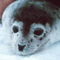 Жестокость поражает: на Сахалине дети до смерти забили тюленёнка