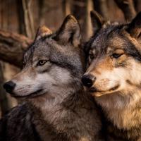 Волк раздора. Пути к управлению популяцией лесного хищника в Беларуси