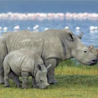 Ноу-хау в борьбе с браконьерами: носороги станут шпионами