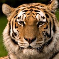 Национальный парк в сердце уссурийской тайги защитит тигров и нанайцев