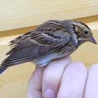 «Транзитная» находка: новый вид птиц заметили на севере Беларуси