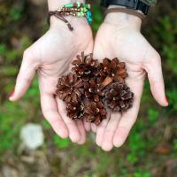 Надвигается беда: лесоводы Беларуси и Украины пытаются остановить усыхание сосен