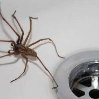 Энтомолог объяснил, почему нельзя убивать домашних пауков