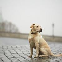 Как не украсть найденную собаку?