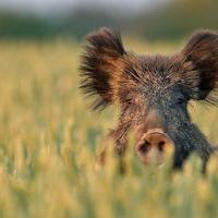 Как запрет на отстрел кабанов поможет победить африканскую чуму свиней