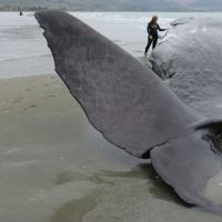 Почему дельфины и киты выбрасываются на берег? «Новая газета» отправилась на край света за разгадкой