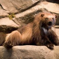 Семь животных, которых больше не встретить в Беларуси. И одно, которое возвращается