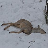 Петельщики озверели: на Витебщине 20 из 92 случаев браконьерства совершались петлями