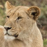 Львы вернулись в Руанду впервые после геноцида 1994 года