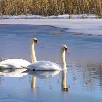 Беларусов зовут заглянуть на ближайший водоём и посчитать водоплавающих птиц