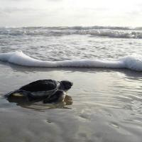 Ученые: морская черепаха может погибнуть от проглатывания даже одного фрагмента пластика