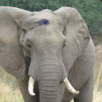 Слон в Зимбабве с пулей в голове пришёл за помощью к людям