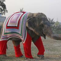 Слоны мёрзнут на севере Индии — им вяжут необычные свитера