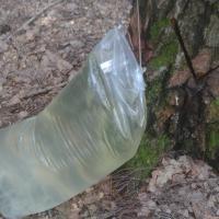 «Пакеты переполнены, сок льётся на землю» — лесхоз нарушает правила промышленной заготовки берёзовика?