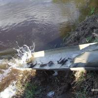Вернётся ли стерлядь в Днепр? Беларусы и россияне пробуют восстановить ихтиофауну реки