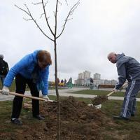 Власти объявили месячник по озеленению Минска и тут же срубили здоровое дерево в центре