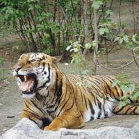 Амурский тигр по кличке Упорный обрёл свободу