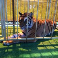 У минского ресторана поставили клетку с тигром: «Два года нашему караоке»