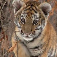 Голод угрожает последним 500 амурским тиграм: как спасти редких животных?