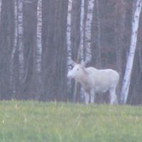 В Островецком районе живет уникальная лосиха-альбинос (фото)