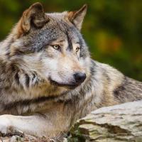 Угроза человеку и сельскому хозяйству. Развенчиваем четыре вредных мифа о волке