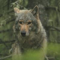 Популяцию волка в Беларуси намерены регулировать гуманными методами