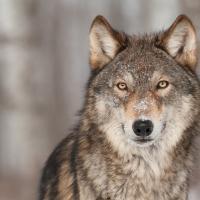 Наблюдать за волками из городской квартиры: в Беларуси запустили посвящённый им блог