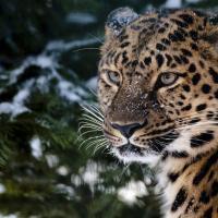 Фильм о дальневосточных леопардах получил Гран-при экологического телефестиваля (видео)