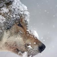 Сомнительный рекорд Минлесхоза: в Беларуси убиты 1734 волка